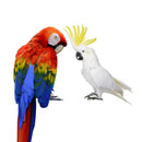 Cockatoo_Macaw_2.jpg